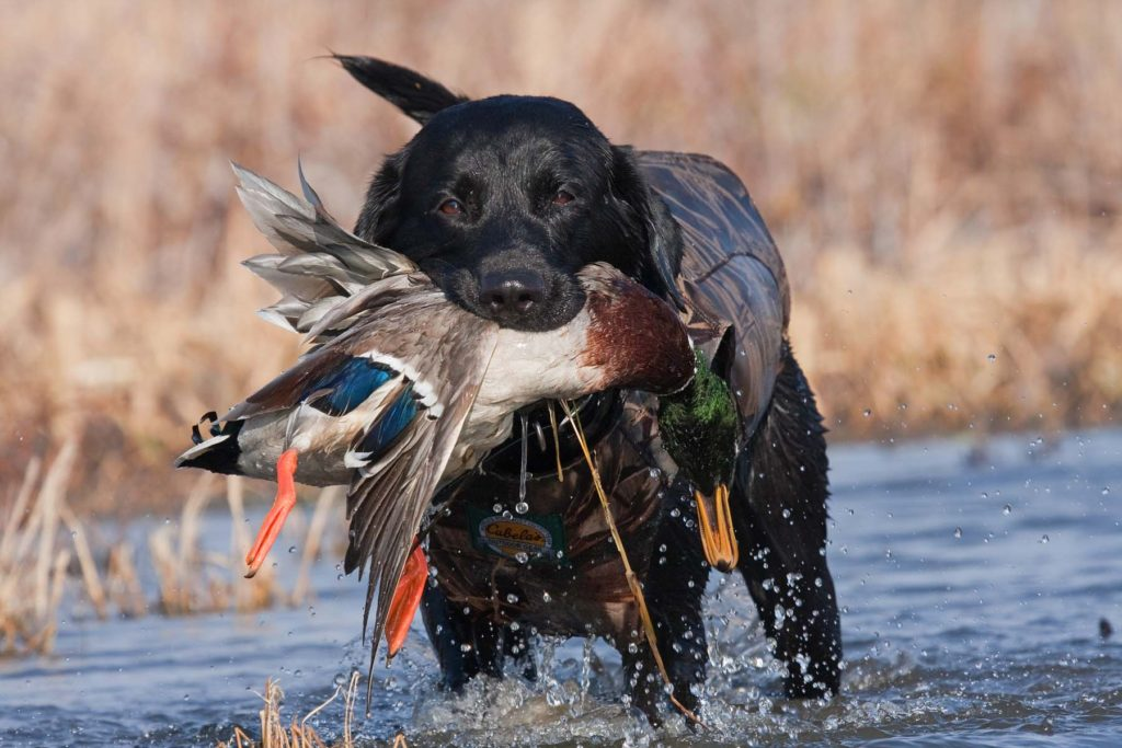 The Waterfowl Festival Comes to Easton, MD